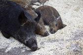 带着孩子的母亲野猪 — 图库照片