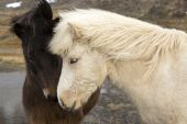 Two Icelandic horses — Stock Photo
