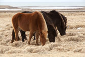 Herd of brown Icelandic horses on a meadow — Stock Photo