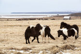Herd of Icelandic horses — Stock Photo