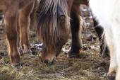 Brown Icelandic horse eats grass — Stock Photo
