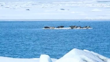 Seals swimming on an ice floe — Stock Video