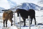 Two Icelandic horses on a meadow in winter — Stock Photo