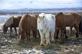 Herd of colorful Icelandic horses on a meadow — Stock Photo