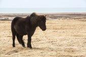 Portrait of a black Icelandic horse — Stock Photo