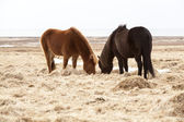Two Icelandic horses on a meadow in spring — Stock Photo
