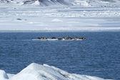 Seals swimming on an ice floe — Stock Photo