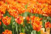Тюльпан — Стоковое фото