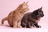 Cute Maine Coon kitten — Stock Photo