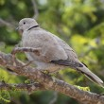 Collared Dove (Streptopelia turtur) — Stock Photo #65356675