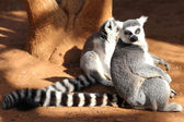 Ring-tailed lemur (lemur catta) looking — Stock Photo
