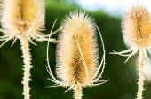 Three dry thistle — Stock Photo