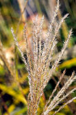 Dry ornamental grass — Stock Photo