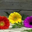 Three colorful gerberas — Stock Photo #62618579