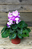 White and purple cyclamen flower — Stock Photo
