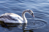 Young swan on the river — Stock Photo