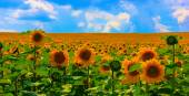 Field of blooming sunflowers on a blue sky — Stock Photo