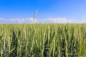 Krajobraz pól pszenicy w słoneczny letni dzień — Zdjęcie stockowe
