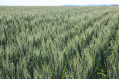 Landscape wheat fields on a sunny summer day — Stock Photo