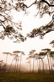 Pine tree forest in the mist at Phu Soi Dao national park Uttaradit province Thailand — 图库照片