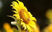 Big sunflower in the garden and blue sky, Thailand — Stock Photo
