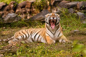 Royal Bengal Tiger growling — Stock Photo
