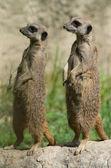 Couple of suricates — Stock Photo