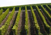 Regulars rows in a tuscan wineyard — Stock Photo