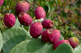 Ripe fruits of prickly pear — Stock Photo