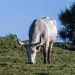 Maremmana cows grazing on a green prairie — Stock Photo #68525885