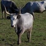 Maremmana cows grazing on a green prairie — Stock Photo #68559705