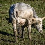 Maremmana cows grazing on a green prairie — Stock Photo #68559759