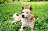 Petit chien sur l'herbe — Photo