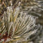Frost on Pine Needles — Stock Photo