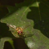 Hoverfly on a Leaf — Stock Photo