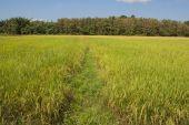 Rice Field. — Stock Photo
