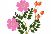 Wild Rose fruits and flower- illustration — Zdjęcie stockowe
