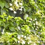 Постер, плакат: Flowering Climbing Hydrangea