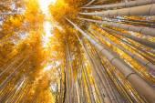 Bamboo grove, bamboo forest at Arashiyama, Kyoto, Japan in autum — Stock Photo