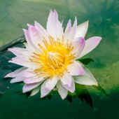 Beautiful lotus or water lily in pond — Foto de Stock