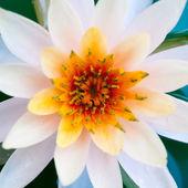 Nahaufnahme der Lotusblume oder Seerose im Teich — Stockfoto