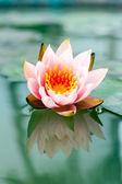 池で美しいピンクのスイレンのまたはロータス花 — ストック写真