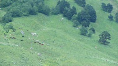 Livestock grazing in mountain pasture — Stock Video