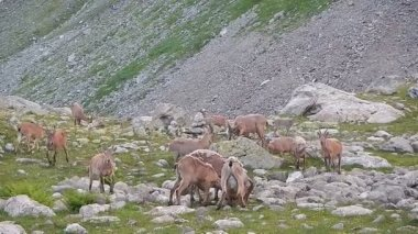 Herd of wild goats eating grass in mountains — Stock Video