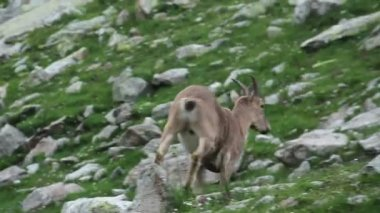 Brown mountain goat running up the hill — Stock Video