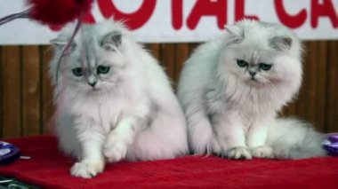 White Persian cats playing — Stock Video