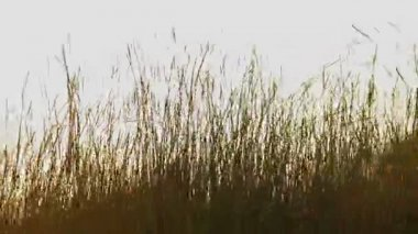Field of wheat close up — Stock Video