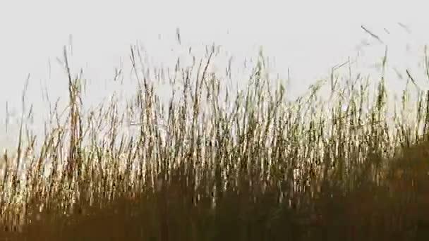 Champ de blé près — Vidéo