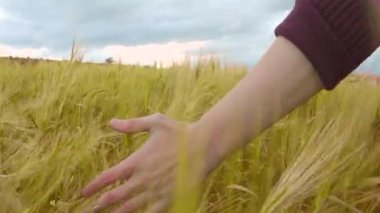 Farmer touching wheat in field, organic crops, farming labor, rural landscape — Stock Video