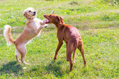 Two dogs playing on field — Foto Stock